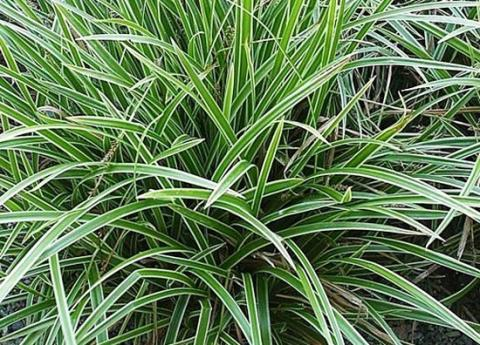 Carex foliosissima 'Ice Dance' ∅ 15cm